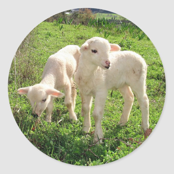 Twin Lambs Grazing Round Sticker