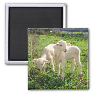 Twin Lambs Grazing Square Magnet