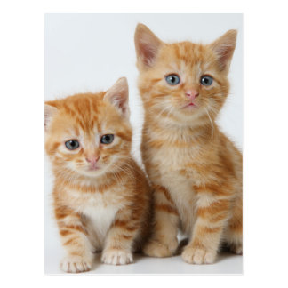 Two Adorable Kittens Postcard