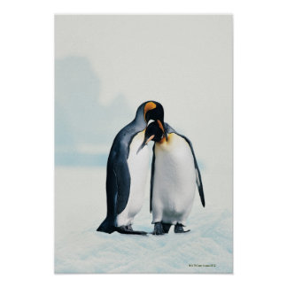 Two affectionate penguins posters