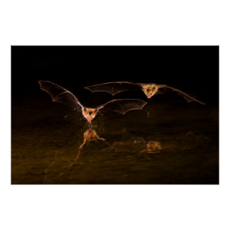 Two bats flying over water, Arizona Poster
