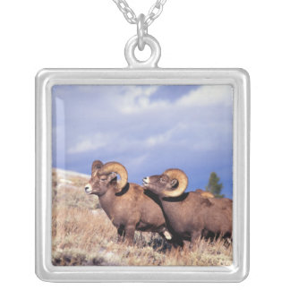 Two bighorn rams Ovis canadensis) on grassy Silver Plated Necklace