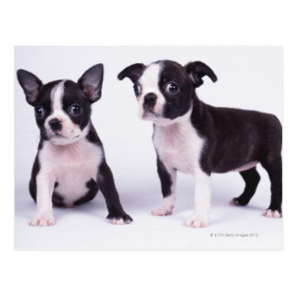 Two black and white puppies postcard