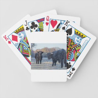 Two black scottish highlanders in frozen meadow bicycle playing cards