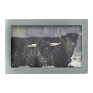 Two black scottish highlanders in winter snow belt buckle