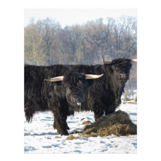 Two black scottish highlanders in winter snow letterhead