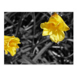Two Black White and Yellow Day Lilies Postcard