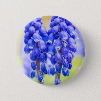 Two blue grape hyacinths in spring 2 inch round button