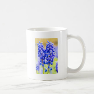 Two blue grape hyacinths in spring coffee mug
