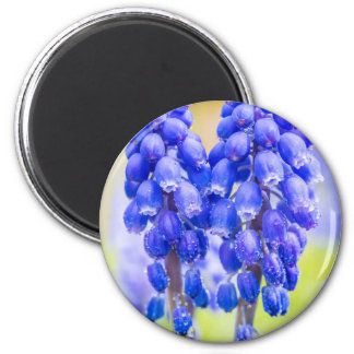 Two blue grape hyacinths in spring magnet