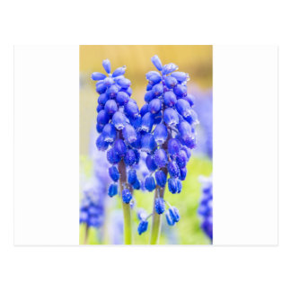 Two blue grape hyacinths in spring postcard