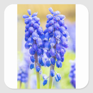 Two blue grape hyacinths in spring square sticker