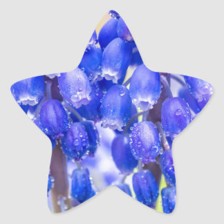 Two blue grape hyacinths in spring star sticker
