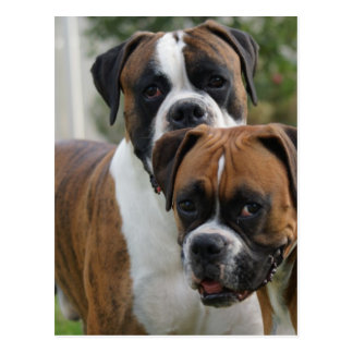 Two Boxer Dogs Postcard