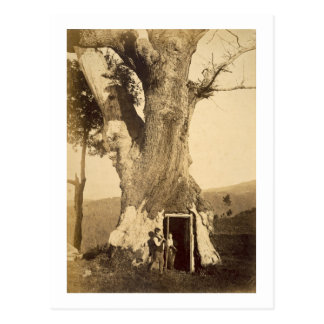 Two boys at the doorway of their treehouse, c.1870 postcard