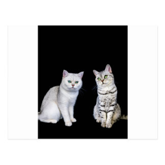 Two british short hair cats on black background postcard