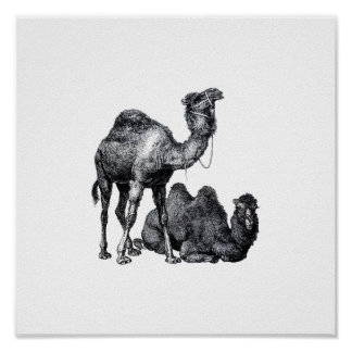 Two camels One standing One lying down drawing Poster