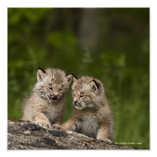 Two Canada Lynx Kittens Playing On A Log Poster