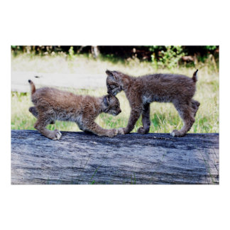 Two Canadian Lynx Kittens playing on a Log Poster