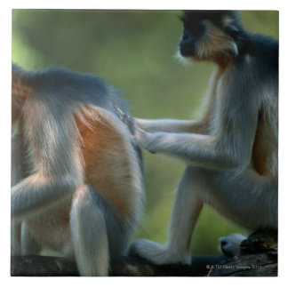 Two capped langurs (Presbytis pileatus) sitting Tile