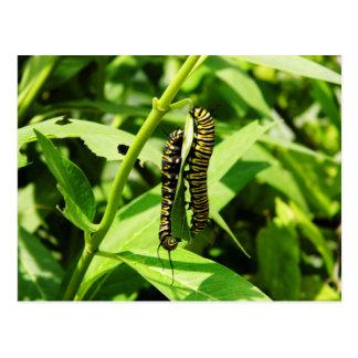 Two Caterpillars Postcard
