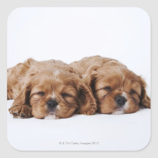 Two Cavalier King Charles Spaniel puppies Square Sticker