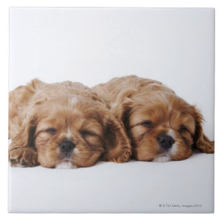 Two Cavalier King Charles Spaniel puppies Tile