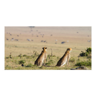 Two cheetahs on the look out custom photo card