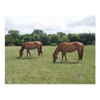 Two Chestnut Horses Grazing Postcard