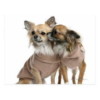 Two Chihuahuas dressed (2 years old) Postcard