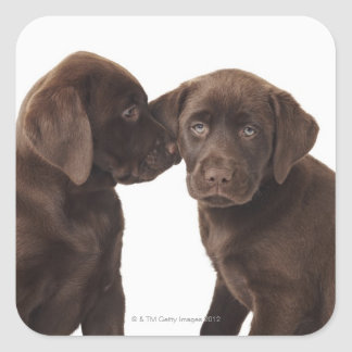 Two chocolate Labrador Retriever Puppies Square Sticker