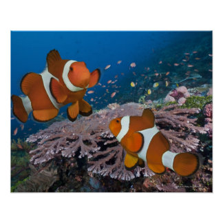 Two Clownfish Poster