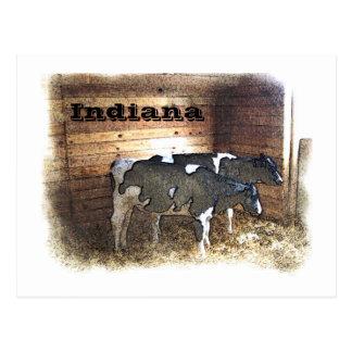 Two Cows Postcard
