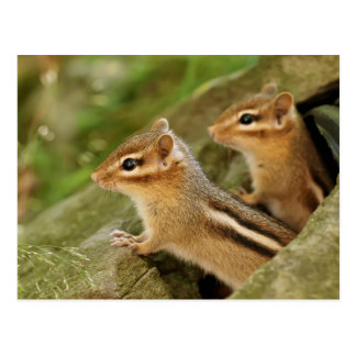Two Cute Baby Chipmunks Post Cards