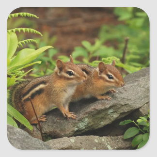 Two Cute Baby Chipmunks Square Sticker