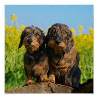 Two Cute Dachshund Dogs Dackel Head Portrait Photo Poster