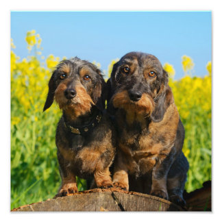 Two Cute Dachshunds Dogs Dackel Friends Pet Photo