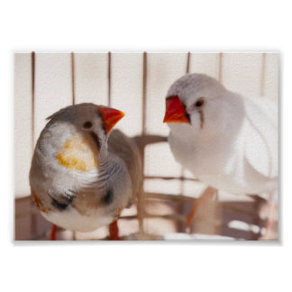 Two Cute Finch Birds in Cage Poster