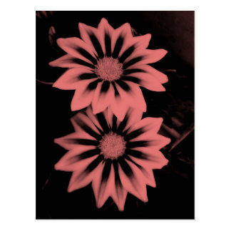 Two Dark Pink Gazanias Postcard