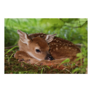 Two day old White-tailed Deer baby, Kentucky. Poster