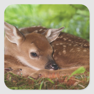 Two day old White-tailed Deer baby, Kentucky. Square Sticker