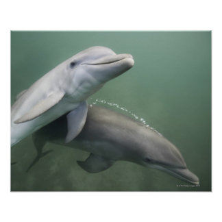Two Dolphins underwater Poster