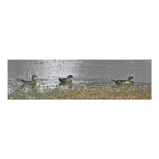 Two Drake and a Hen Wood Duck Poster