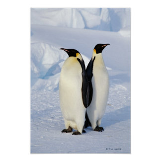 Two Emperor Penguins in Antarctica Poster