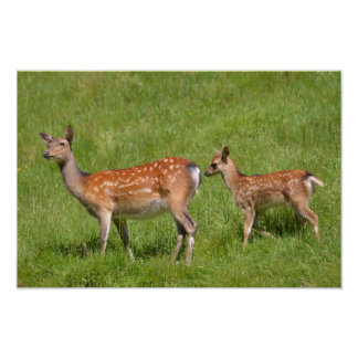 Two fallow deer in grass poster