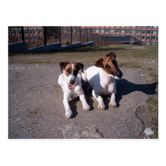 Two_fox_terriers_laying_down Postcard