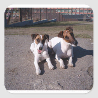 Two_fox_terriers_laying_down Square Sticker