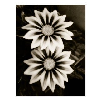 Two Gazanias Black And White Postcard