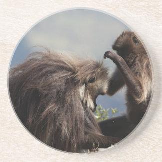 Two gelada baboons (Theropithecus gelada) Coaster