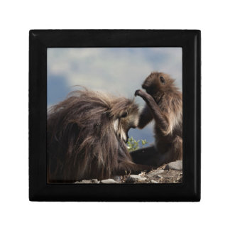 Two gelada baboons (Theropithecus gelada) Gift Box